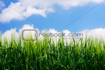 Green wheat plant details