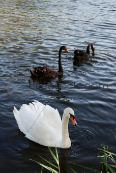 Three swans on the water