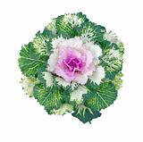 Colorful Ornamental Cabbage