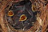 Hungry Baby Birds - House Wrens