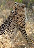 Cheetah hunting