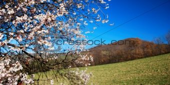 Pale pink almond bloom under springtime blue sky with hills in background