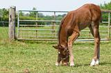 Little foal eating grass