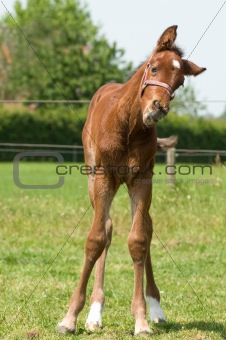 Cute 10 day old foal looking funny