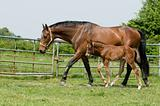 Mare and foal in the field
