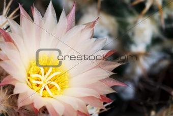 Pale pink Coryphantha