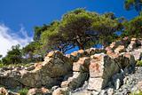 pine tree on the stone