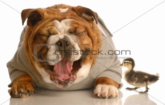 dog laughing at baby duck