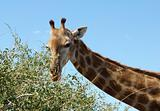 Female Giraffe in Africa