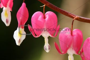 Bleeding hearts spray, Dicentra spectabilis