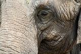 Closeup of an elephant