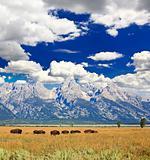 Bisons in Grand Teton National Park