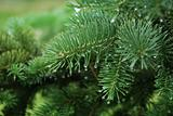 pine branch with water drops