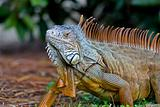 A wild iguana wandered around in a garden