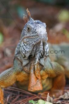 A wild iguana wandered around in a garden