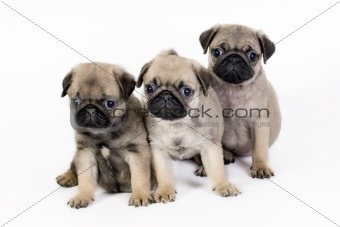 Three pug puppies.