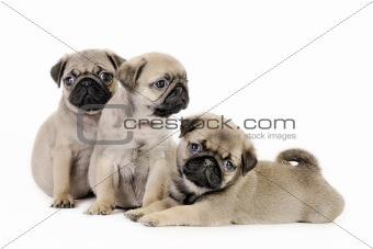 Three  pug puppies.