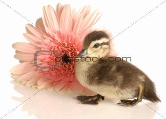 baby duck sitting beside gerbera daisy