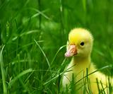 gosling in grass