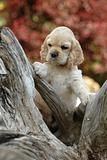 cocker spaniel puppy standing on wood