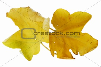 Pair of yellow autumn fig leaves