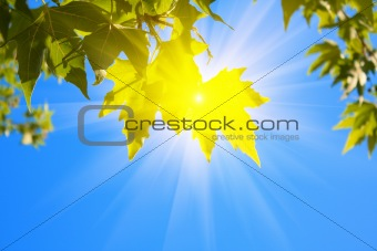 green leaves and sun  on sky background