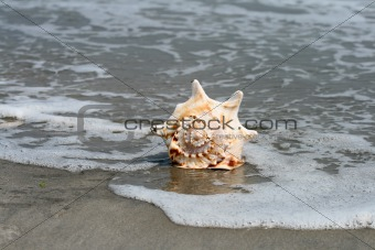 A beautiful giant seashell