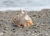 A beautiful giant seashell