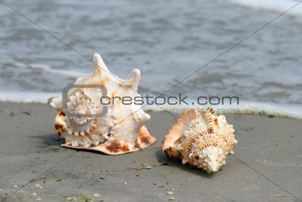 beautiful giant seashells