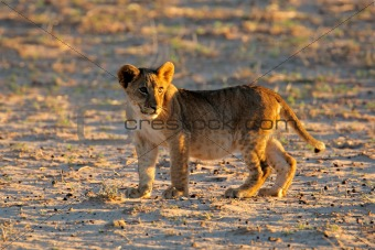 Small lion cub