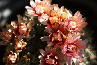 Cactus flower at dusk