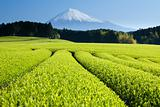 Green Tea Fields V
