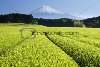 Green Tea Fields V