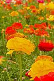Asiatic Ranunculus Flowers