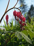 """Flowers"": Japanese Bleeding Heart, Back-lit"