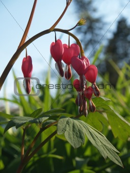 """""""Flowers"""": Japanese Bleeding Heart, Back-lit"""