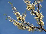 """Trees"": White Redbud branch- Cercis canadensis ""alba"" in Spring"