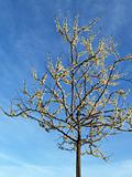 """Trees"": White Redbud Tree- Cercis canadensis ""alba"" in Spring"