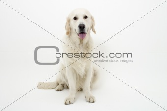 great looking golden retriever
