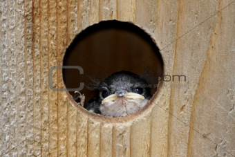 Baby Bird In a Bird House