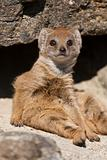 Baby Mongoose sitting on a rock
