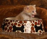 kitten sitting in pet food dish