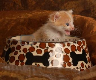kitten sitting in pet food dish
