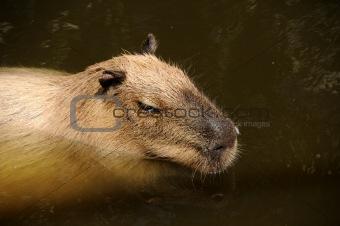 Capibara swimming