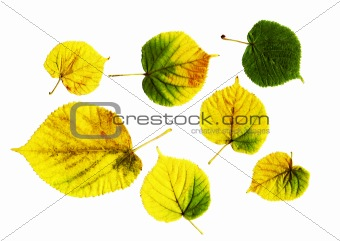 bright leaves