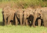 Elephant Herd Grazing