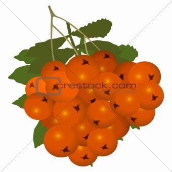 Ashberry (rowanberry)