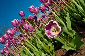 Bend tulip