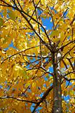 Yellow walnut tree