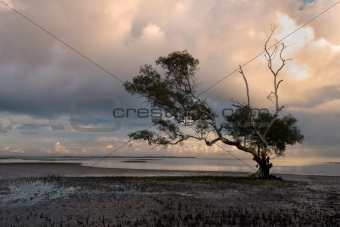 A lone mangrove tree in the morning light
